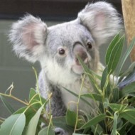 koala-finding-it's-sound