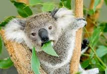 Koalas Love To Brunch At The Gold Tree Cafe...