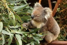 How Koalas Find Their Bliss...