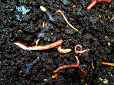 Worms in compost...